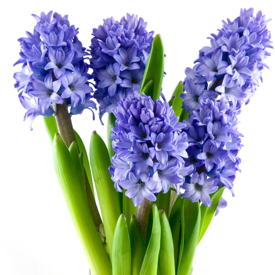 4-Pack Hyacinth Minos Bulbs
