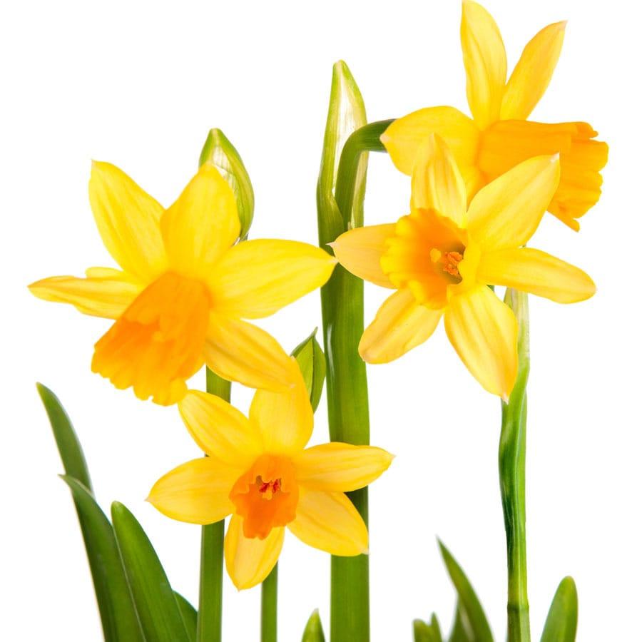 8-Pack Daffodil Jet Fire Bulbs