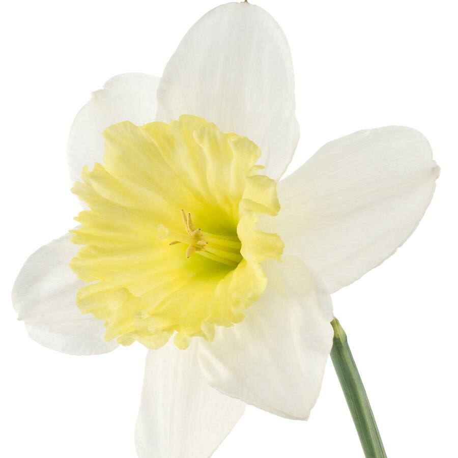 8-Pack Daffodil Ice Follies Bulbs