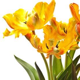 Shop plant bulbs at lowes 15 pack tulip texas flame bulbs mightylinksfo