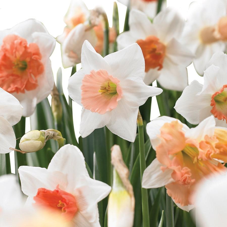 15-Pack Daffodil Pink Mix Bulbs