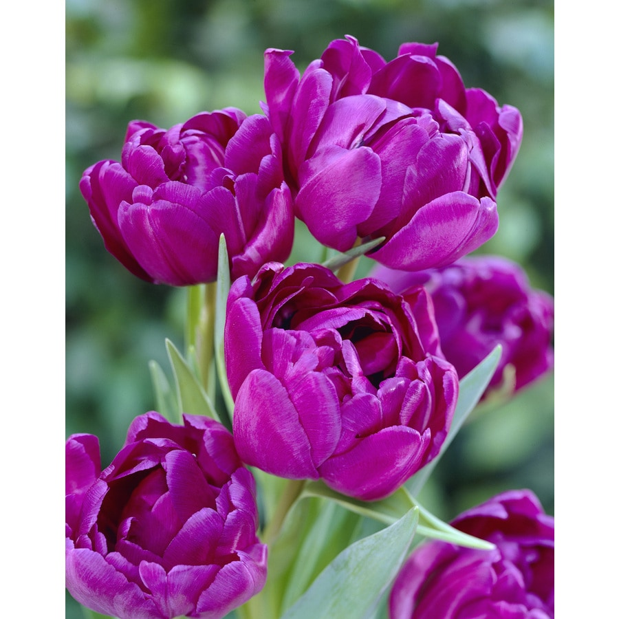 6-Count Tulip Blue Diamond Bulbs