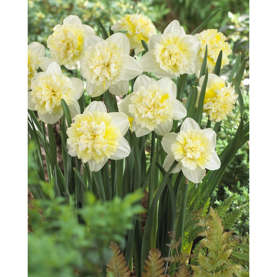 6-Count Daffodil Ice King Bulbs
