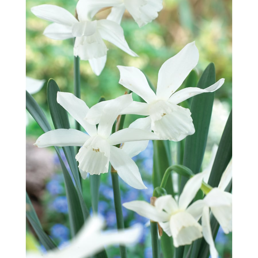 8-Count Daffodil Thalia Bulbs