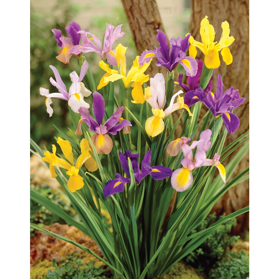 14-Count Dutch Iris Mixed Bulbs