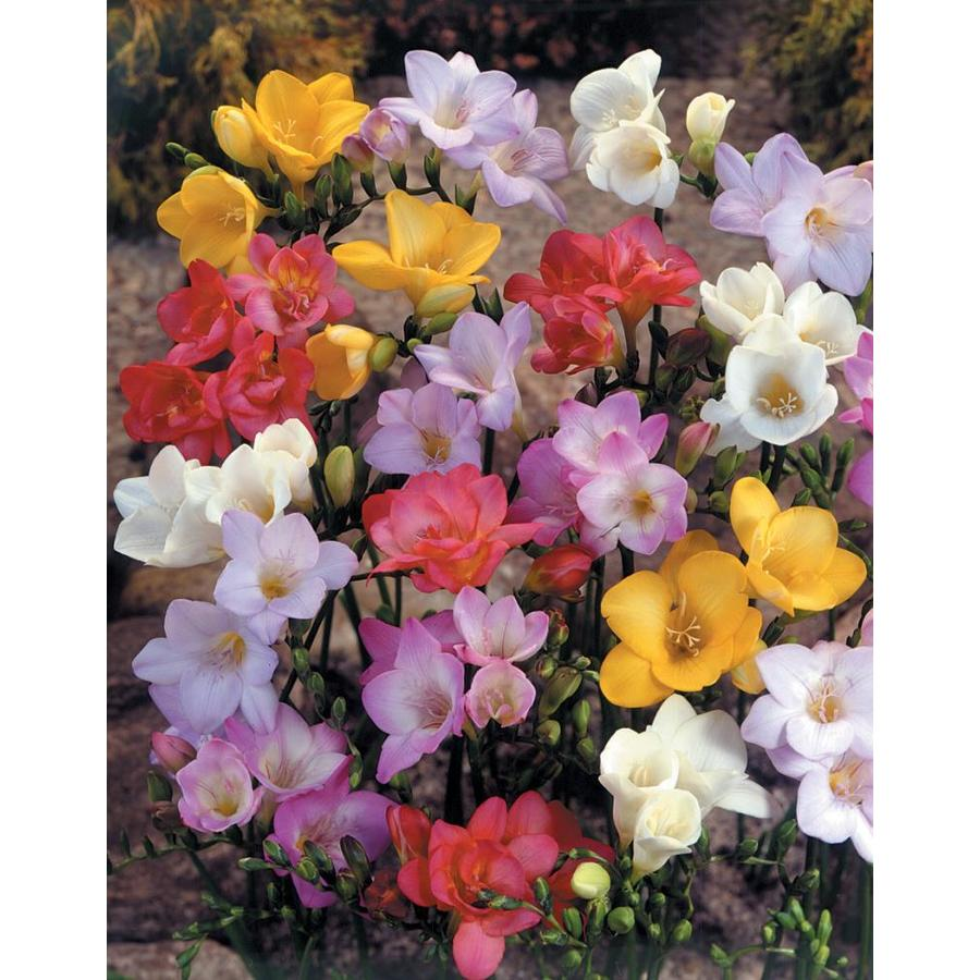 14-Count Freesia Single Mixed Bulbs