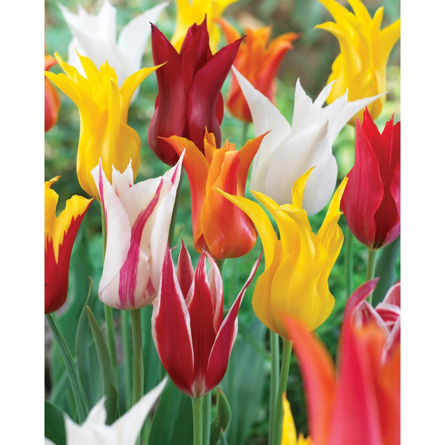 12-Count Tulip Lily Flowering Mixed Bulbs