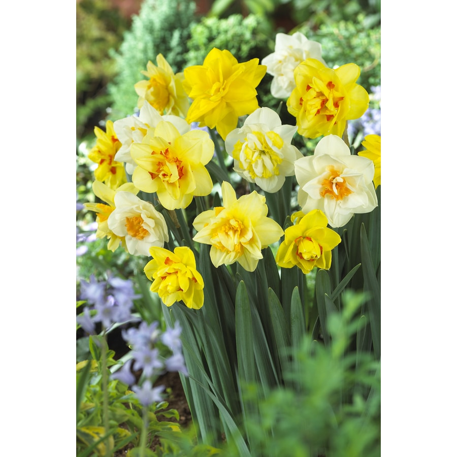 12-Count Daffodil Double Mixed Bulbs