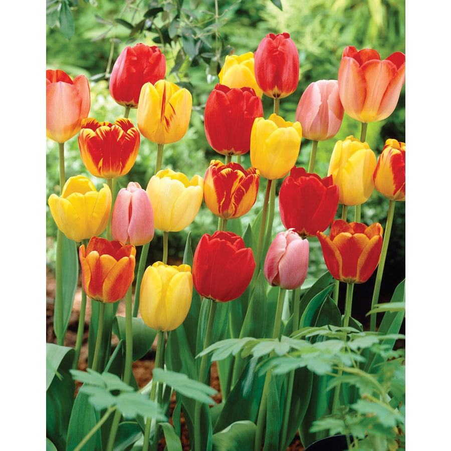 35-Count Tulip Mixed Longstemmed Bulbs