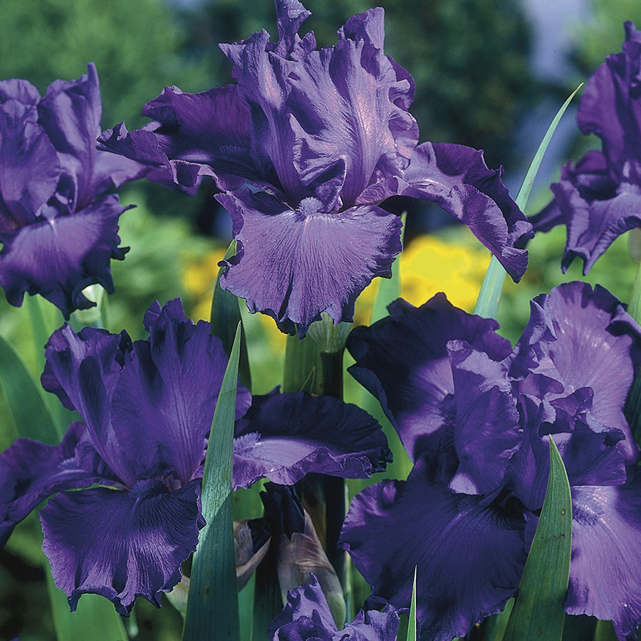 Shop 1 Count Bearded Iris Bulbs At Lowes