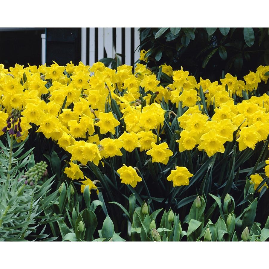 50-Count Daffodil Yellow Trumpet Bulbs