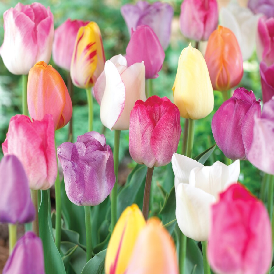 10-Count Tulip Pastel Mixed Bulbs