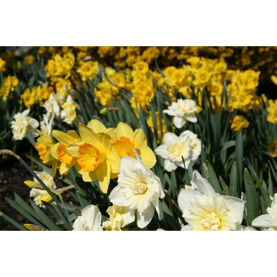 10-Count Daffodil Mixed Bulbs