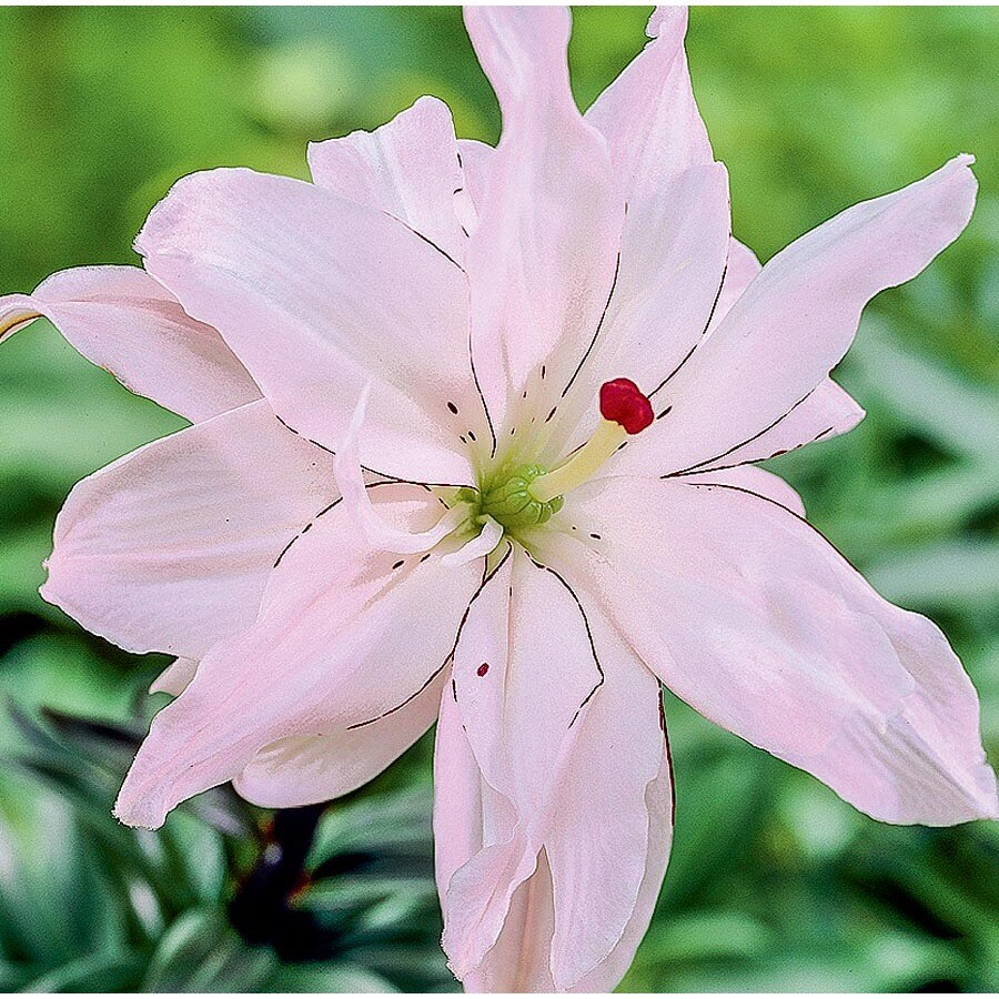 6-Count Spring Pink Lily (Lb22676)
