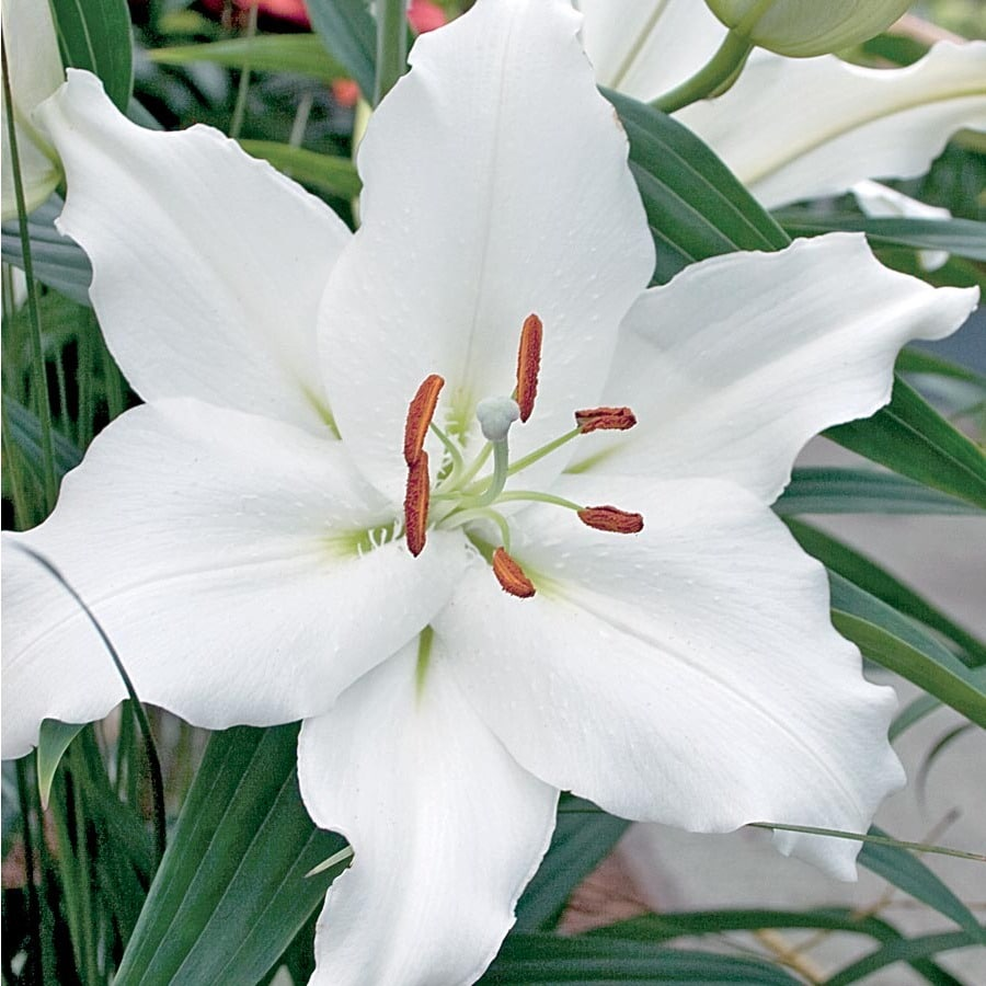 6-Count Navona Asiatic Lily (Lb22146)