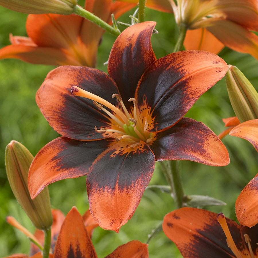 6-Count Lily Bulbs