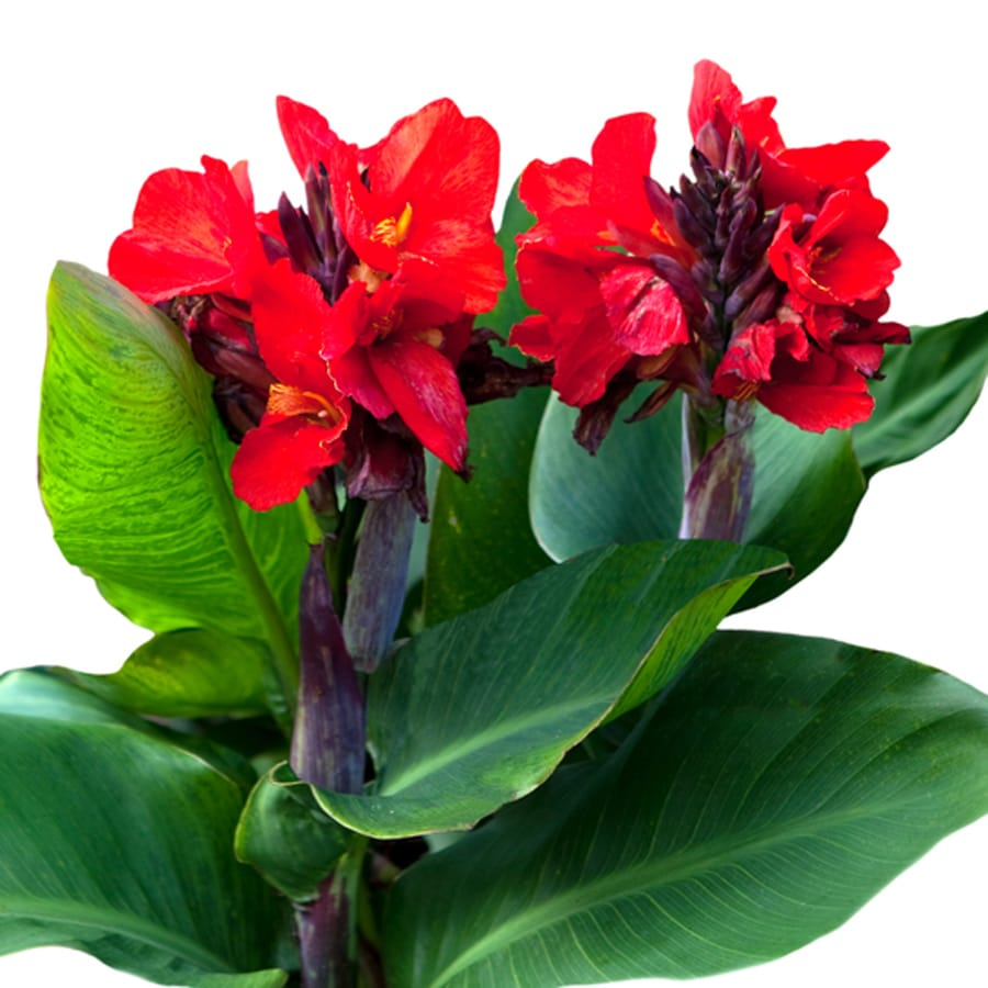 5-Count Canna Bulbs