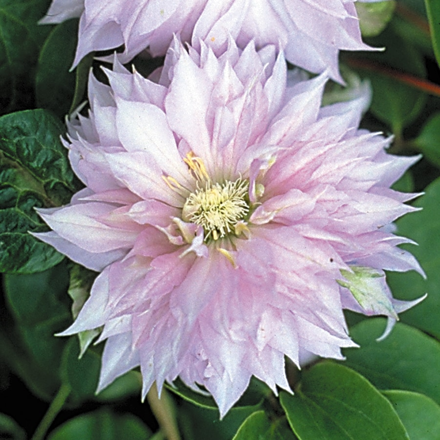 Belle of Woking Clematis Bulb