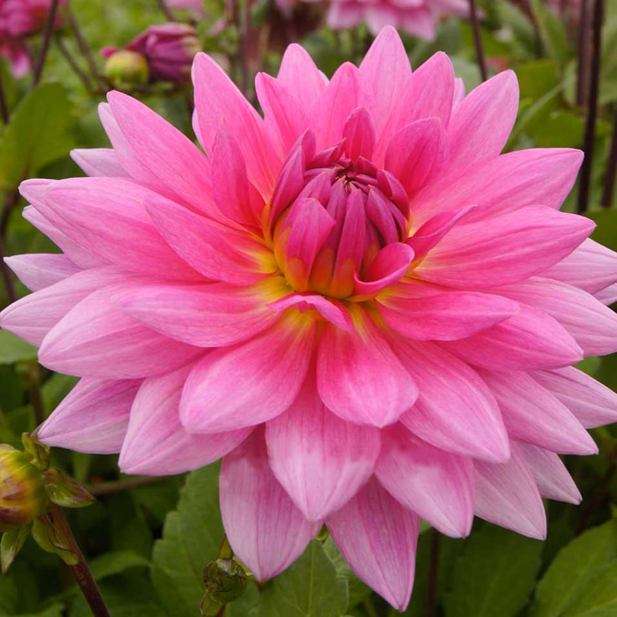 3-Count Dahlia Bulbs