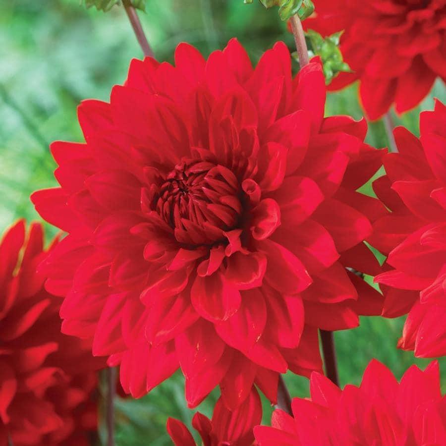 Shop annuals at lowes garden wonder dahlia izmirmasajfo Choice Image