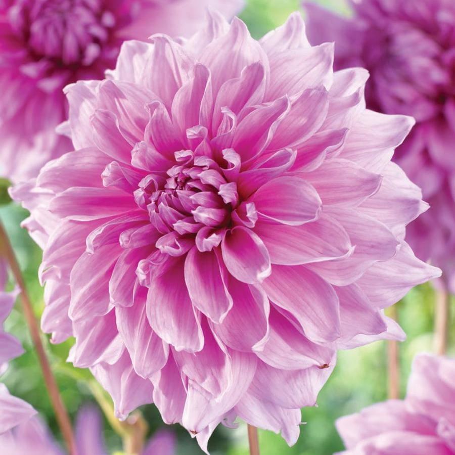 3-Count Lavender Perfection Dahlia Bulbs