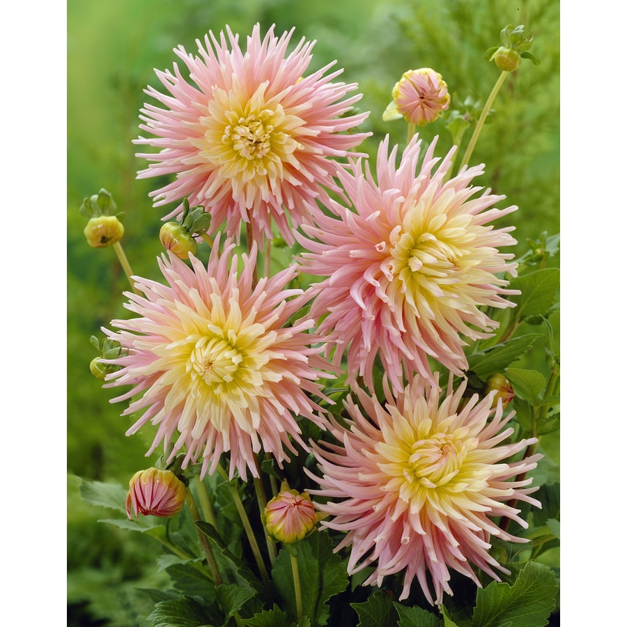 3-Count Dahlia Cactus New Dimension Bulbs