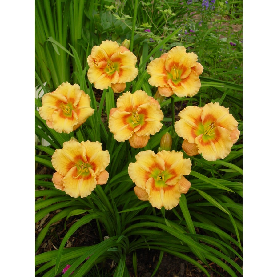 2-Count Daylily Playground Bulbs