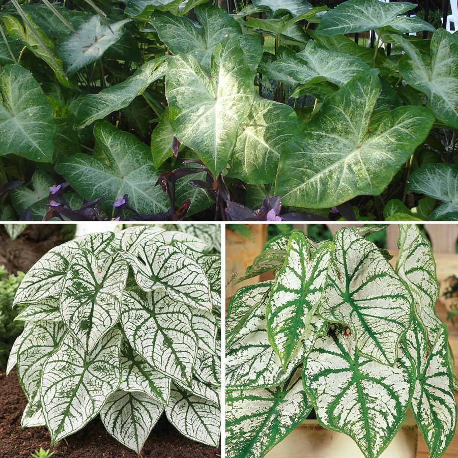 8-Count Caladium White Mixed Blend Bulbs