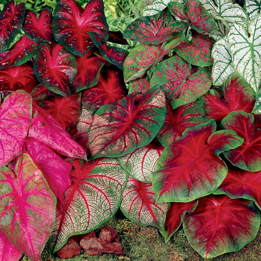 8-Count Caladium Pink and Red Blend Bulbs