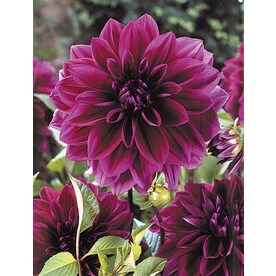 Plant Bulbs At Lowes