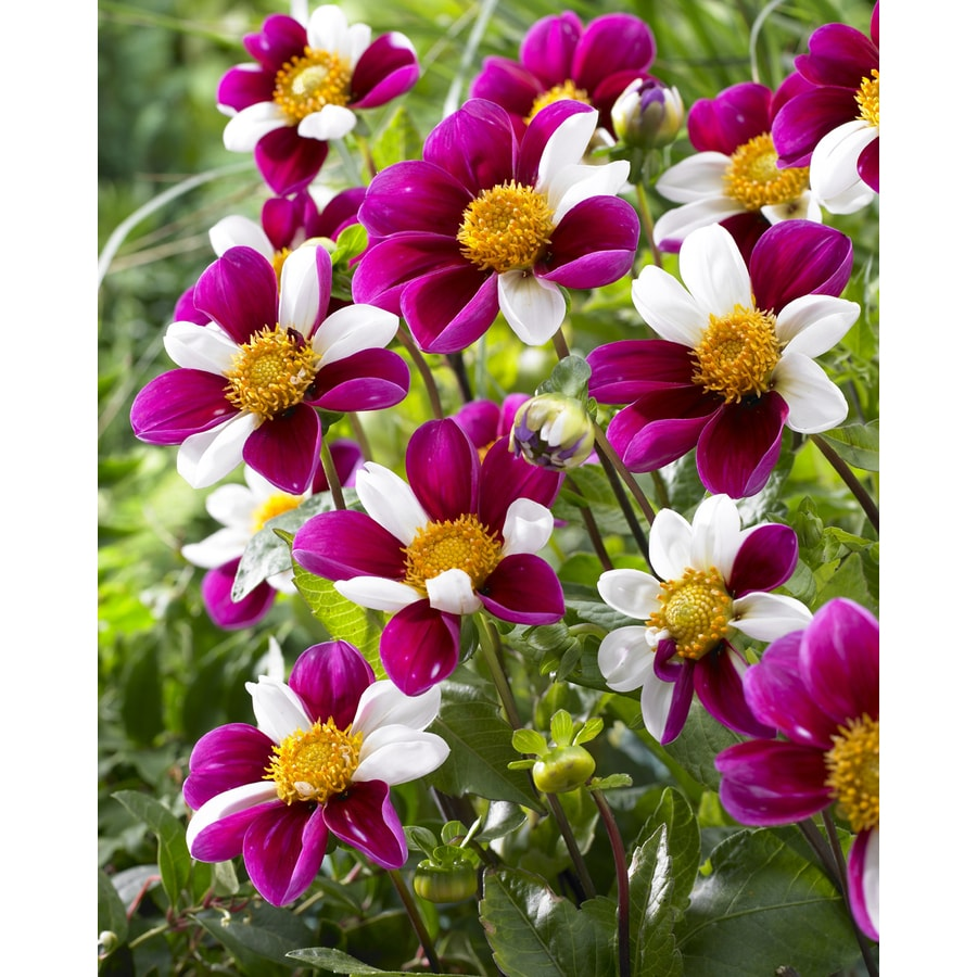 3-Count Dahlia Twynings Smartie Bulbs