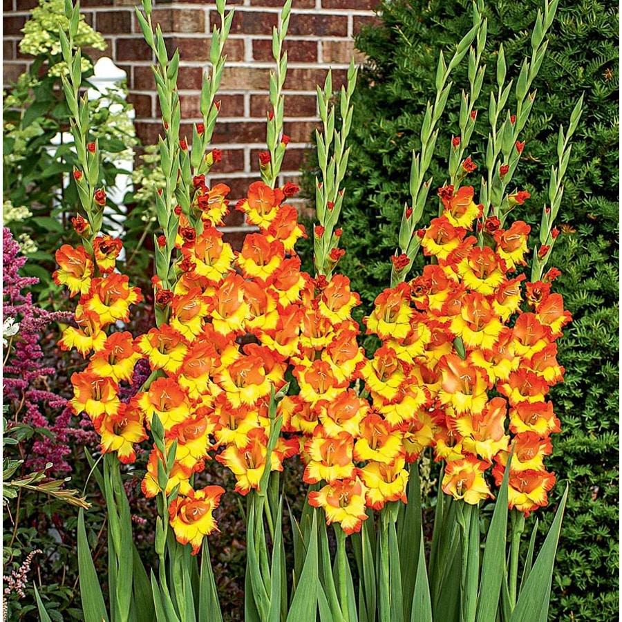 25-Count Gladiolus Fiesta Bulbs