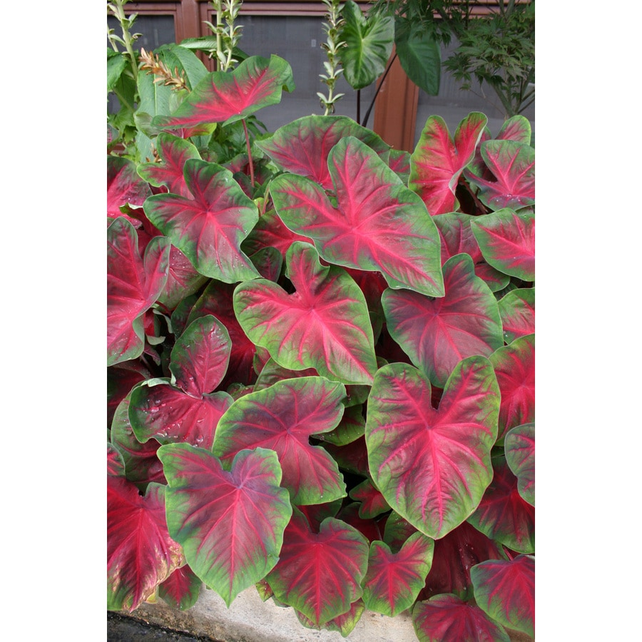 6-Count Caladium Blaze Bulbs