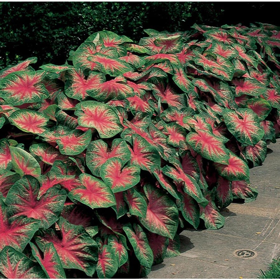 6-Count Caladium Rosebud Bulbs