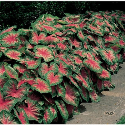 6 Count Caladium Rosebud Bulbs At Lowes Com