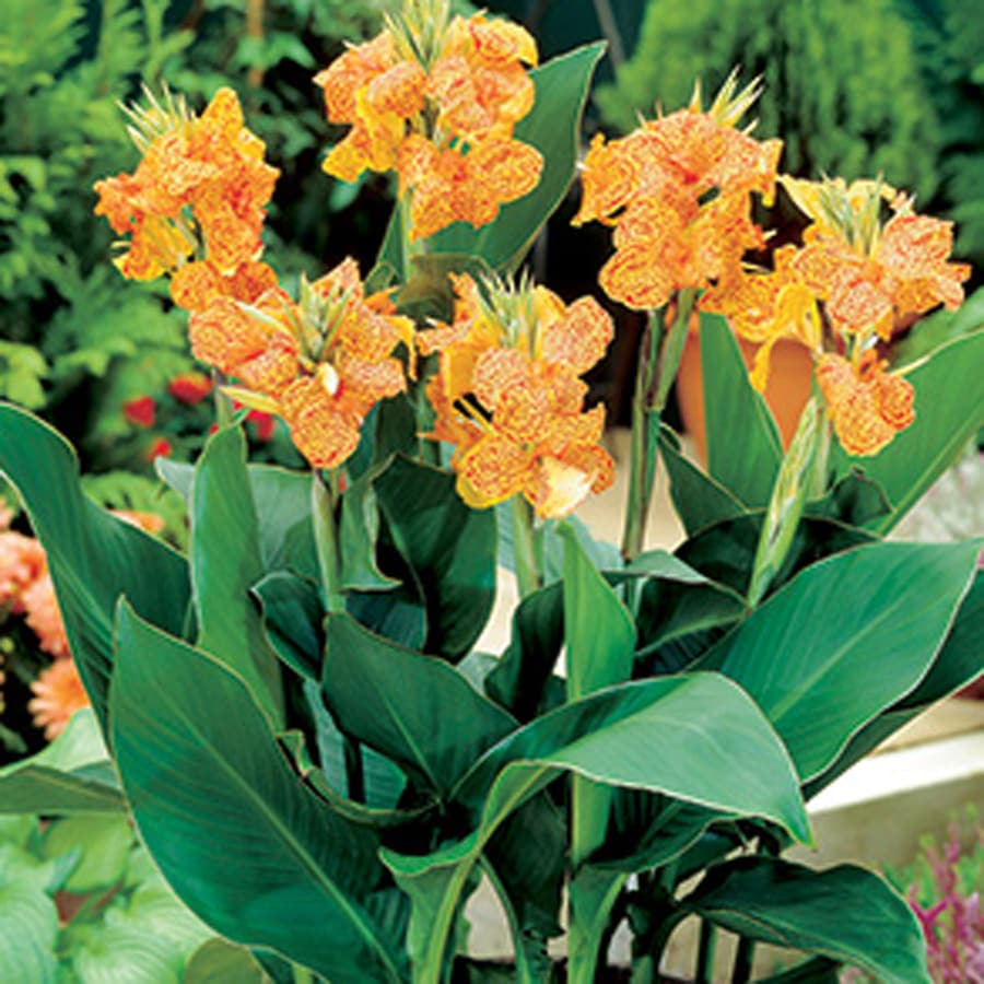 3-Count Canna Picasso Bulbs