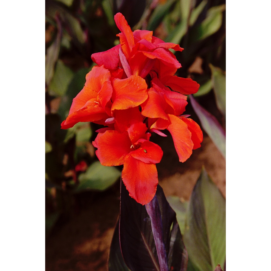 3-Count Canna Red King Humbert Bulbs