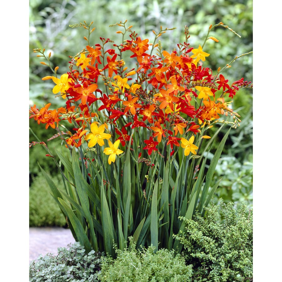 16-Count Crocosmia Blend Bulbs