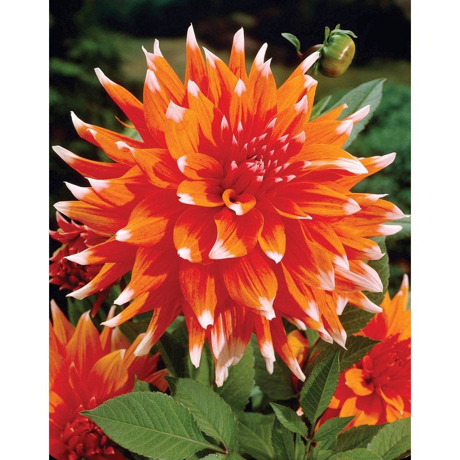 2-Count Dahlia Cactus Color Spectacle Bulbs