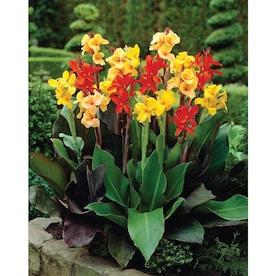 Perennial Plant Bulbs At Lowes Com
