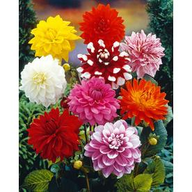 14ct Bulbs - Dahlias - Decorative Mixed - Van Zyverden