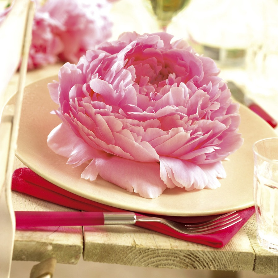 5 Count Peony Pink Bulbs In The Plant Bulbs Department At Lowes Com