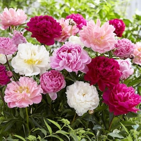 Van Zyverden 3 Count Peonies Bulbs In The Plant Bulbs Department At Lowes Com