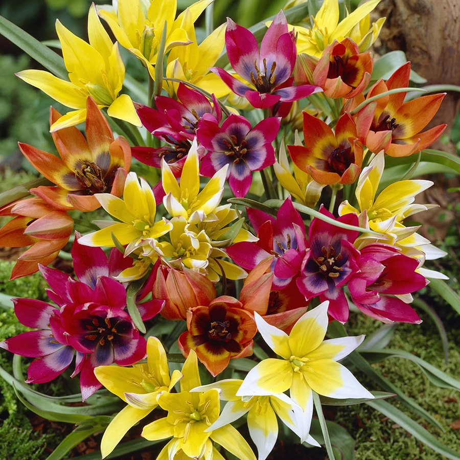 Shop 100 Count Tulips Perennial Mixture Bulbs At Lowes