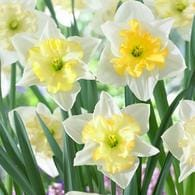 12 Count Daffodils Changing Colors Bulbs Deals