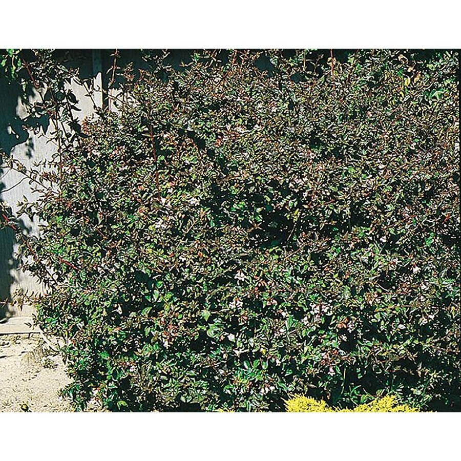 225 Gallon Pink Edward Goucher Abelia Flowering Shrub L9521 At