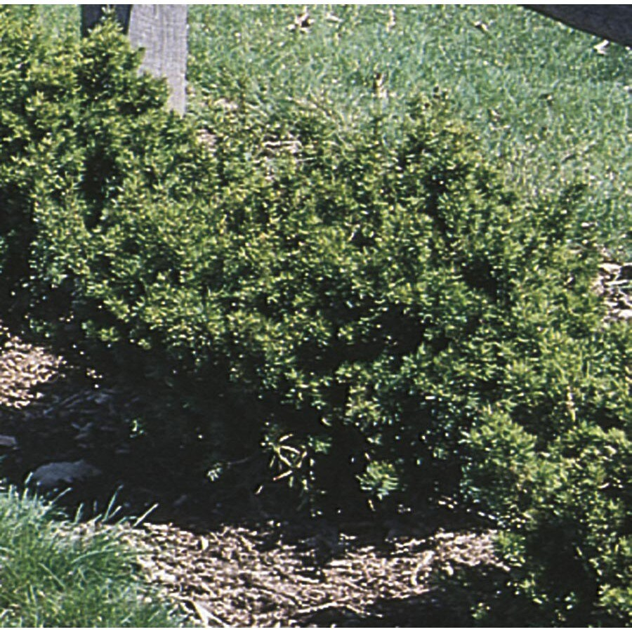 2.25-Gallon Spreading Yew Accent Shrub (L4608)