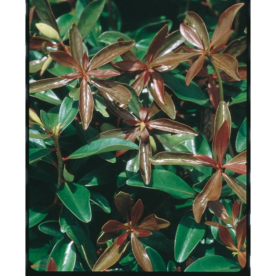 5.5-Quart White Cleyera Foundation/Hedge Shrub (L5330)
