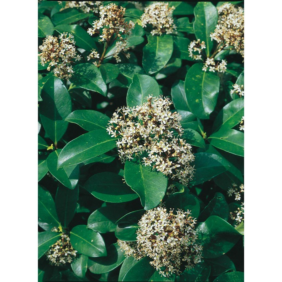 2.5-Quart White Dwarf Male Japanese Skimmia Flowering Shrub (L6026)