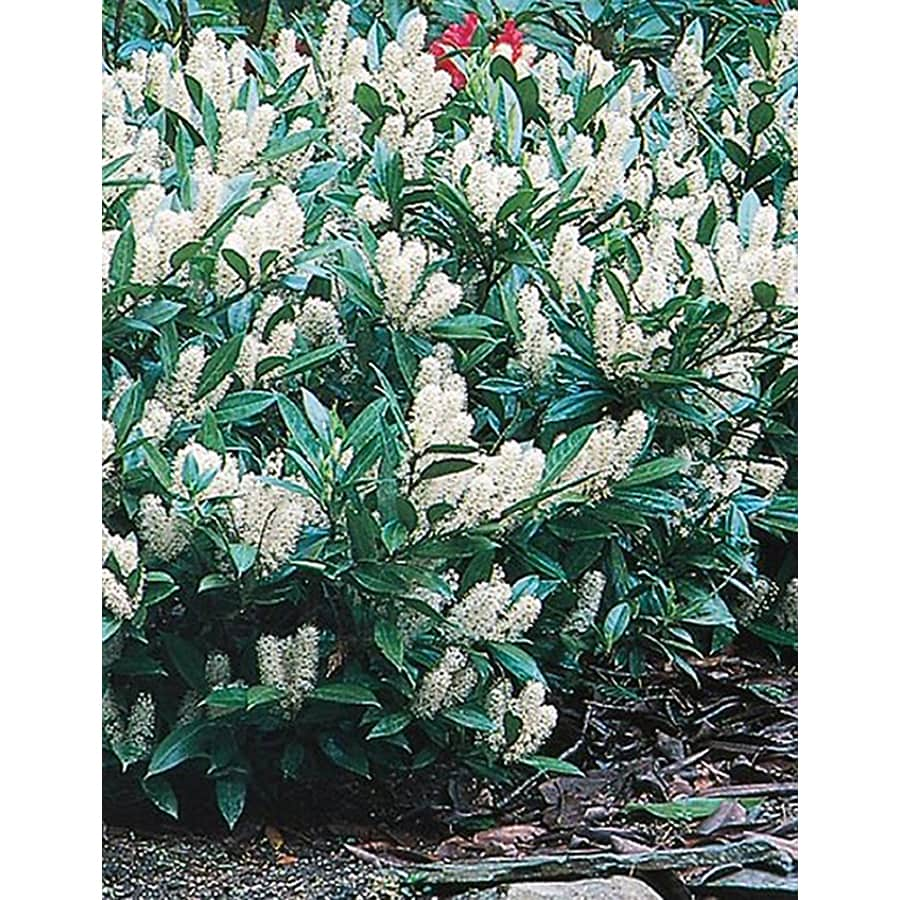 3.25-Gallon White Otto Luyken Cherry Laurel Foundation/Hedge Shrub (L14686)